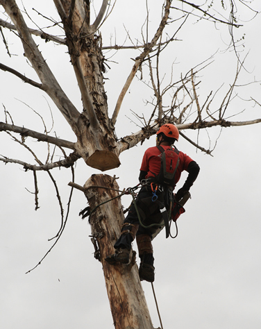 Tree trimming contractor working on trimming large branches
