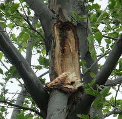 A Sycamore tree that was damaged in a storm